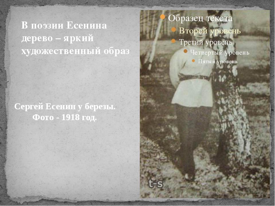 Сергей Есенин у березы. Фото - 1918 год. В поэзии Есенина дерево – яркий худо...
