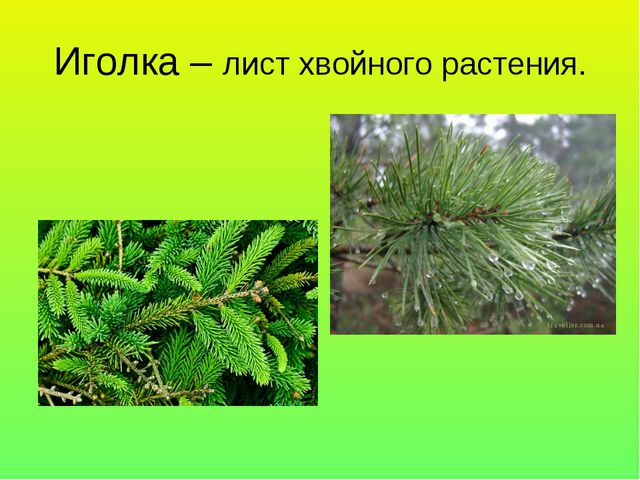 Иголка – лист хвойного растения.