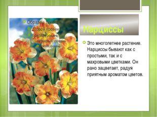 Нарциссы Это многолетнее растение. Нарциссы бывают как с простыми, так и с м