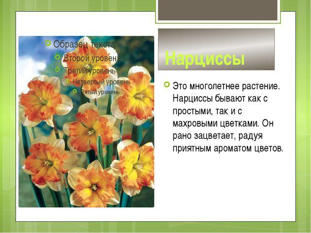 Нарциссы Это многолетнее растение. Нарциссы бывают как с простыми, так и с м...