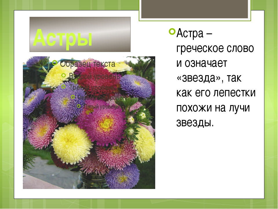 Астры Астра – греческое слово и означает «звезда», так как его лепестки похож...