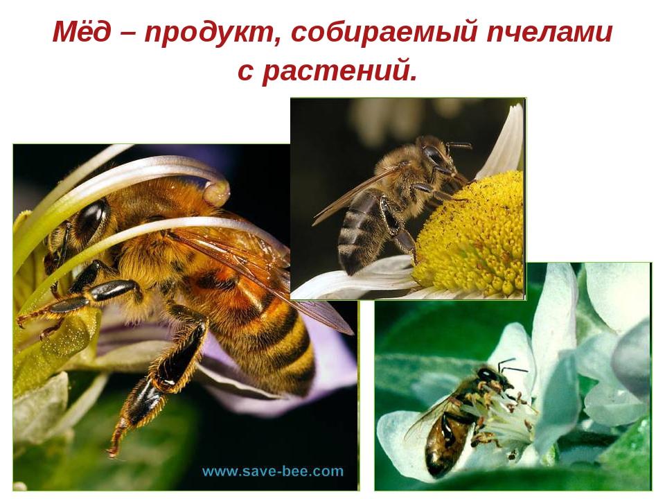Мёд – продукт, собираемый пчелами с растений.