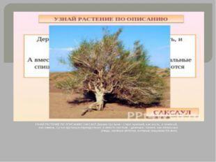 УЗНАЙ РАСТЕНИЕ ПО ОПИСАНИЮ САКСАУЛ Дерево пустыни – ствол крепкий, как кость