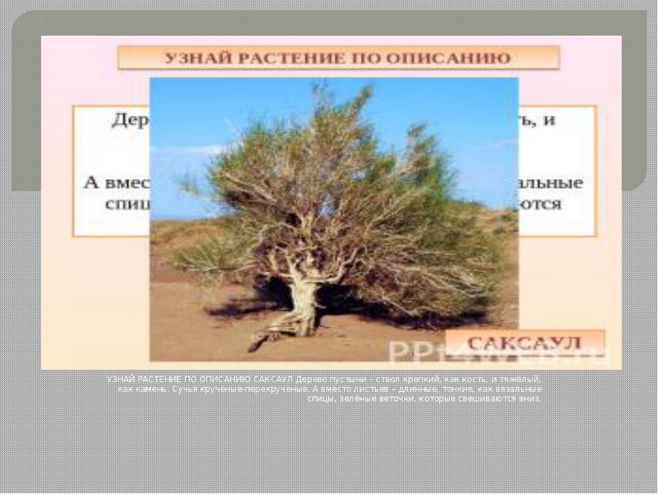 УЗНАЙ РАСТЕНИЕ ПО ОПИСАНИЮ САКСАУЛ Дерево пустыни – ствол крепкий, как кость...