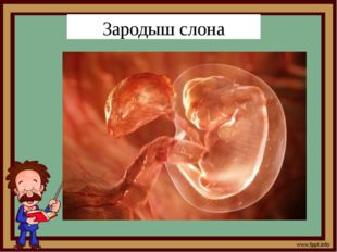 Зародыш слона