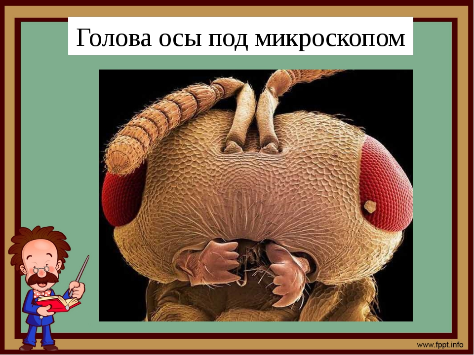 Голова осы под микроскопом