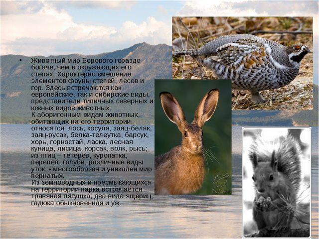 Животный мир Борового гораздо богаче, чем в окружающих его степях. Характерно...
