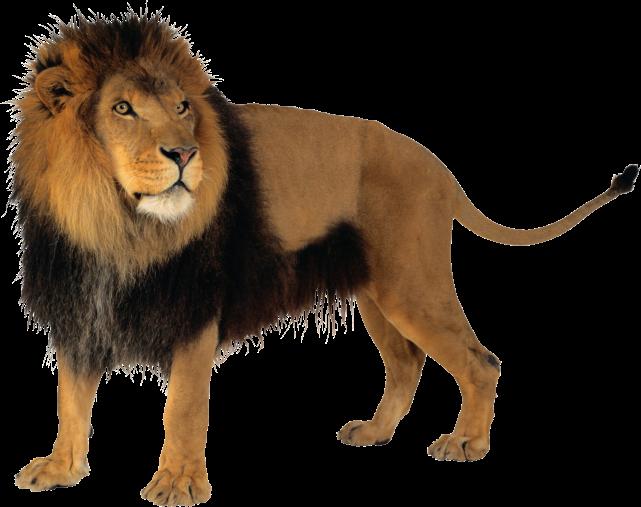 http://pngimg.com/upload/lion_PNG3806.png
