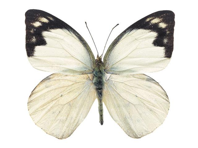 http://potolok-metr.com/images/stories/Butterfly/b11.jpg