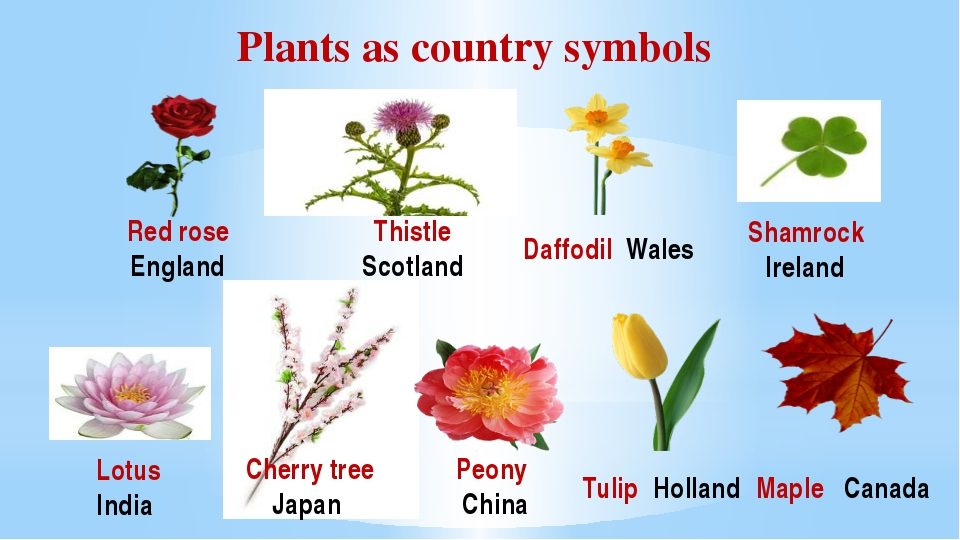 Plants as country symbols Lotus India Red rose England Thistle Scotland Daffo...