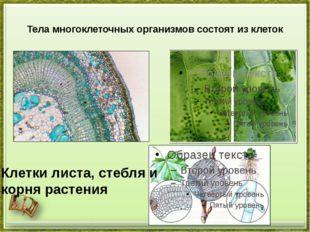 Тела многоклеточных организмов состоят из клеток Клетки листа, стебля и корня