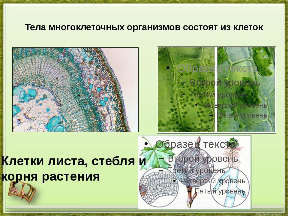 Тела многоклеточных организмов состоят из клеток Клетки листа, стебля и корня...