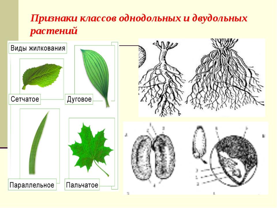 Признаки классов однодольных и двудольных растений
