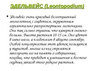 ЭДЕЛЬВЕЙС (Leontopodium) Эдельвейс очень красивый белоопушенный многолетник с