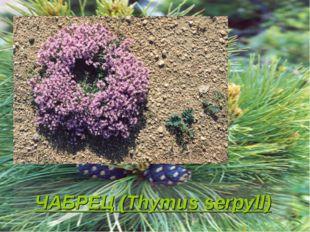 ЧАБРЕЦ (Thymus serpyll)