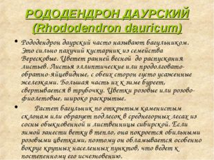 РОДОДЕНДРОН ДАУРСКИЙ (Rhododendron dauricum) Рододендрон даурский часто назыв