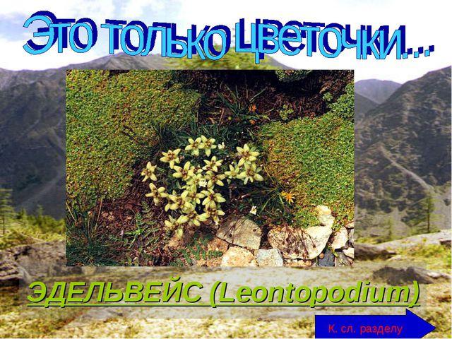 ЭДЕЛЬВЕЙС (Leontopodium) К. сл. разделу