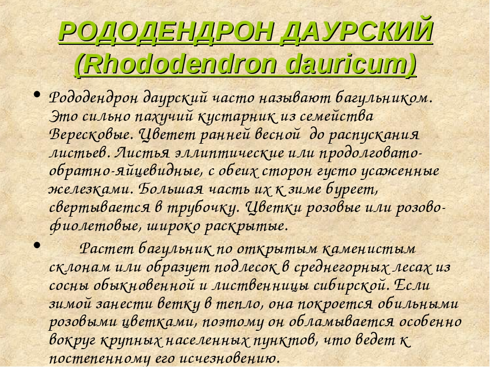 РОДОДЕНДРОН ДАУРСКИЙ (Rhododendron dauricum) Рододендрон даурский часто назыв...