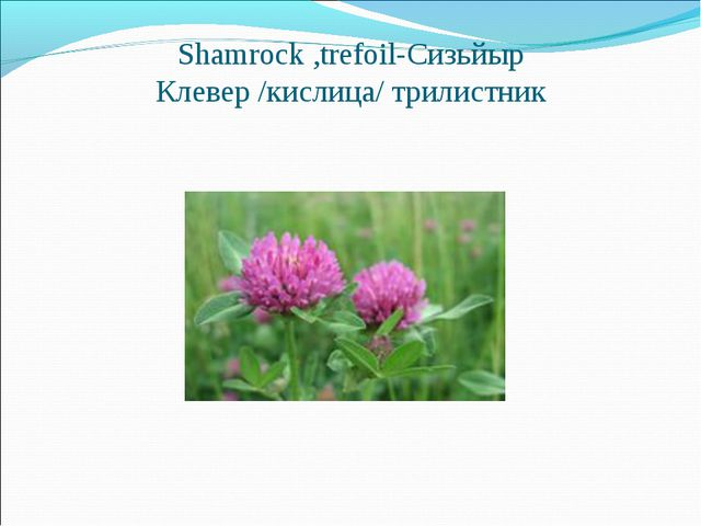 Shamrock,trefoil-Сизьйыр Клевер /кислица/ трилистник