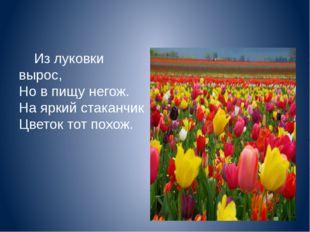 Из луковки вырос, Но в пищу негож. На яркий стаканчик Цветок тот похож.