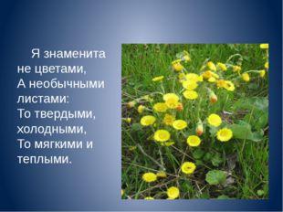 Я знаменита не цветами, А необычными листами: То твердыми, холодными, То мяг