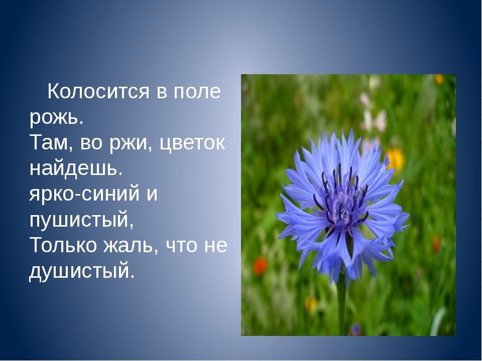 Колосится в поле рожь. Там, во ржи, цветок найдешь. ярко-синий и пушистый, Т...
