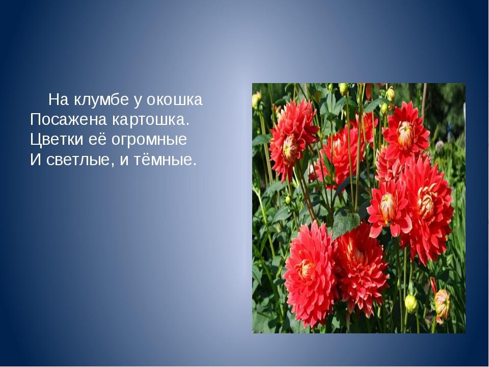 На клумбе у окошка Посажена картошка. Цветки её огромные И светлые, и тём...