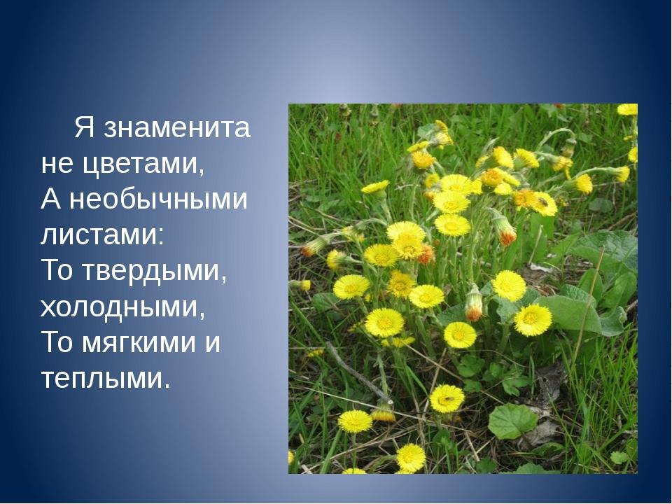Я знаменита не цветами, А необычными листами: То твердыми, холодными, То мяг...