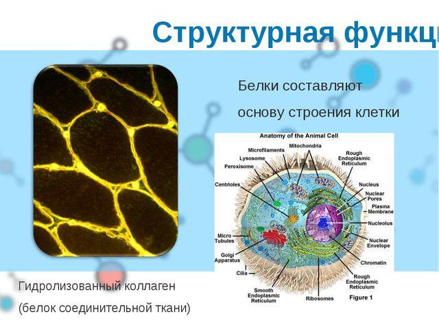 Структурная функция Белки составляют основу строения клетки Гидролизованный к...