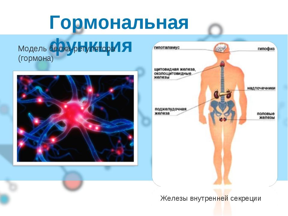 Гормональная функция Железы внутренней секреции Модель белка-регулятора (горм...