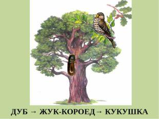 ДУБ → ЖУК-КОРОЕД→ КУКУШКА