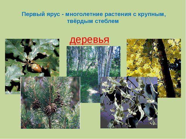Первый ярус - многолетние растения с крупным, твёрдым стеблем деревья