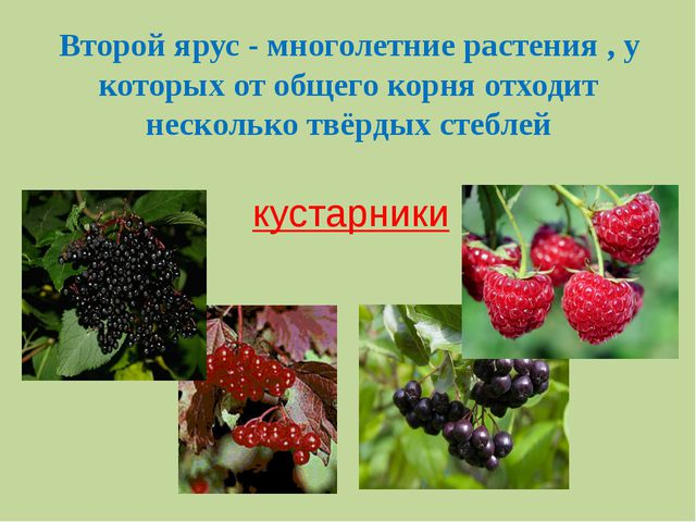 Второй ярус - многолетние растения , у которых от общего корня отходит нескол...