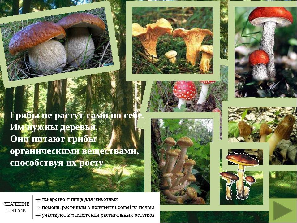 Грибы не растут сами по себе. Им нужны деревья. Они питают грибы органическим...