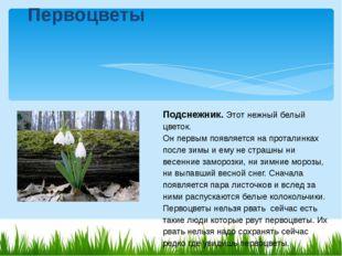 Подснежник.Этот нежный белый цветок. Он первым появляется на проталинках по