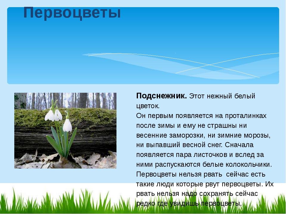 Подснежник.Этот нежный белый цветок. Он первым появляется на проталинках по...