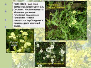 ГУЛЯВНИК - род трав семейства крестоцветных. Сорняки. Многие ядовиты. Молодые