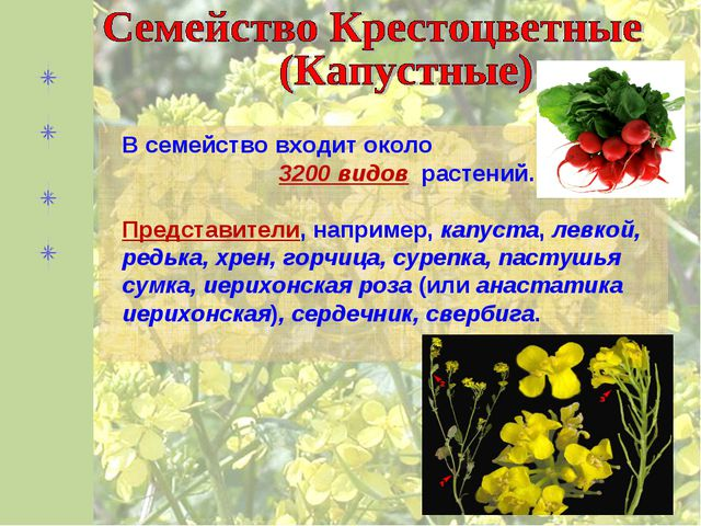 В семейство входит около 3200 видов растений. Представители, например, капуст...