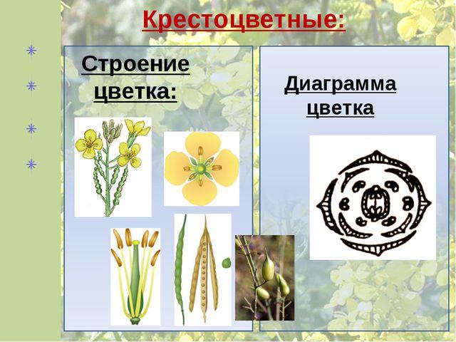 Диаграмма цветка Строение цветка: Крестоцветные: