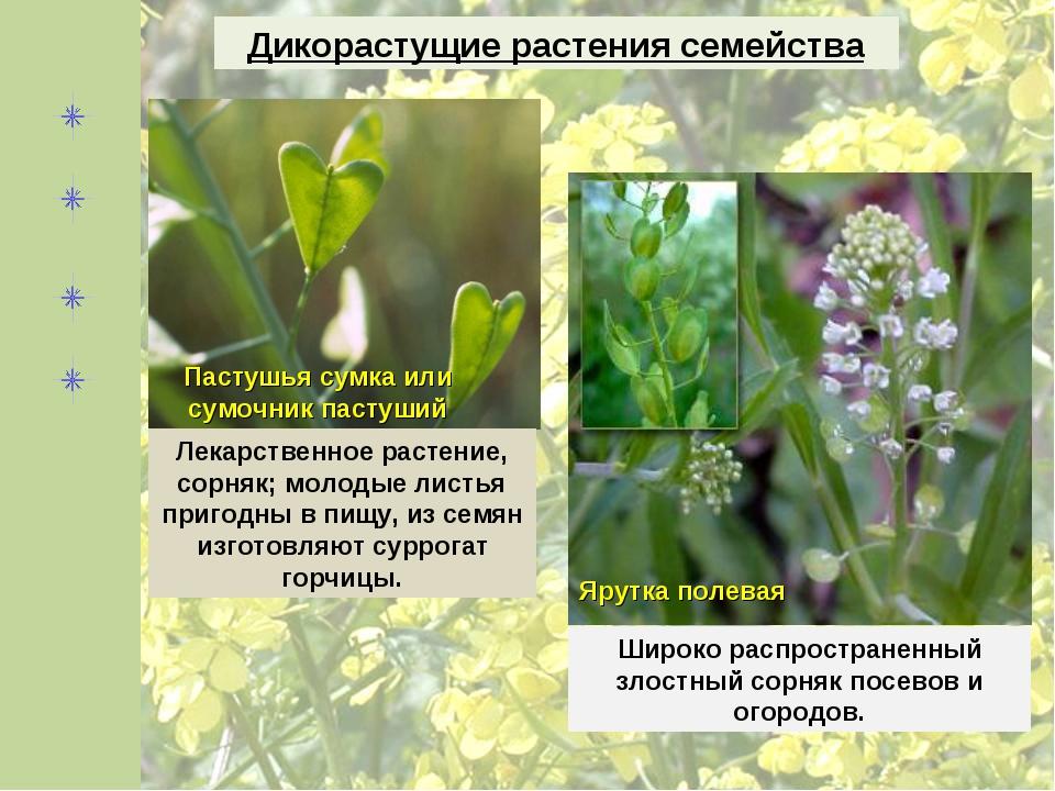 Дикорастущие растения семейства Пастушья сумка или сумочник пастуший Лекарств...