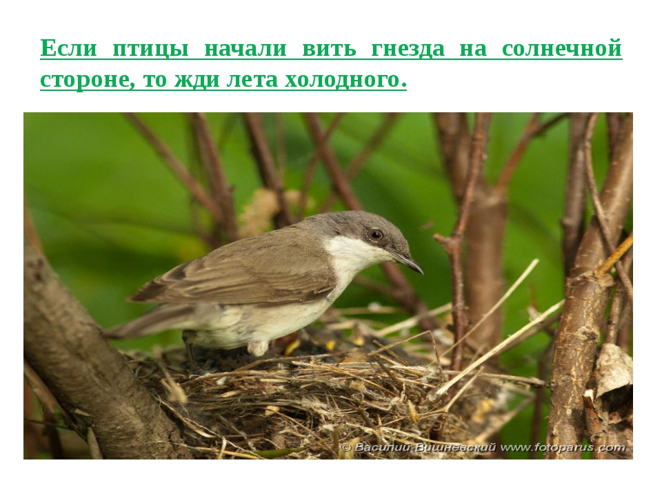 Если птицы начали вить гнезда на солнечной стороне, то жди лета холодного.