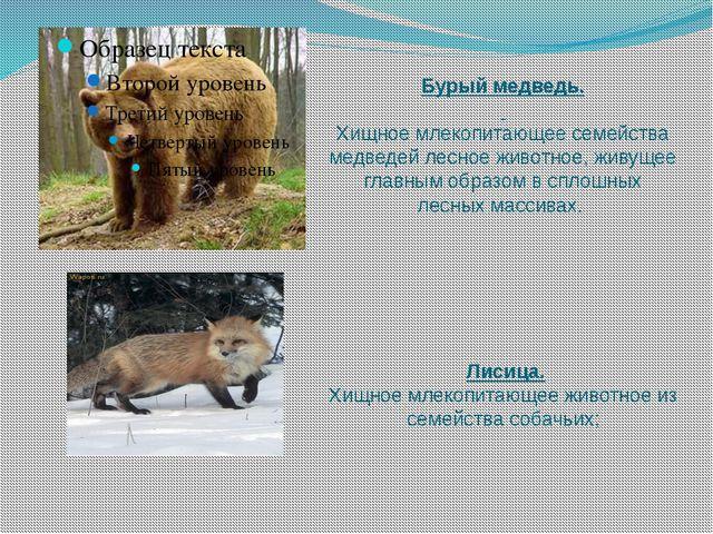 Бурый медведь.  Хищное млекопитающее семейства медведей лесное животное, жив...