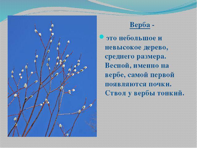 Верба - это небольшое и невысокое дерево, среднего размера. Весной, именно н...