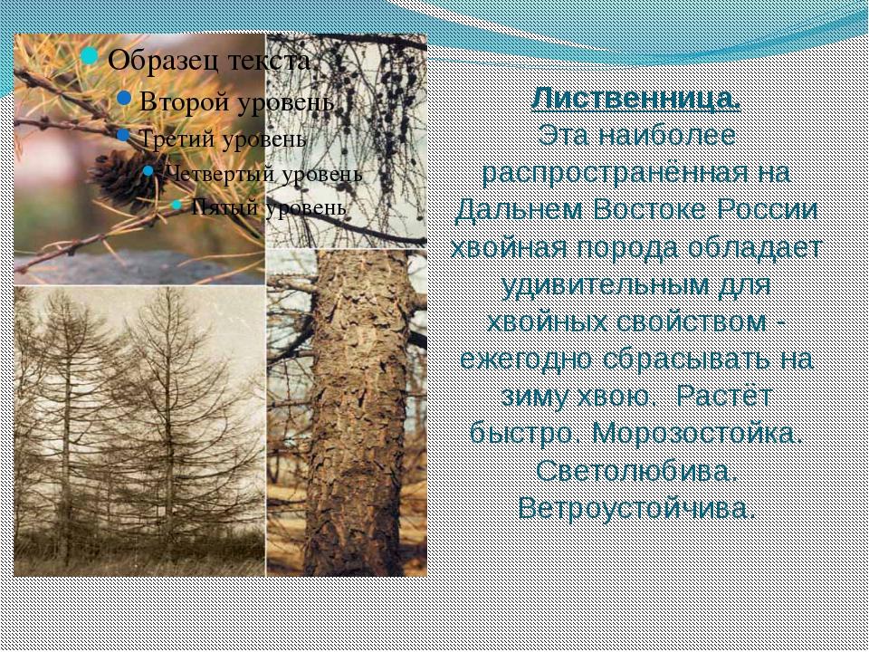 Лиственница. Эта наиболее распространённая на Дальнем Востоке России хвойная...