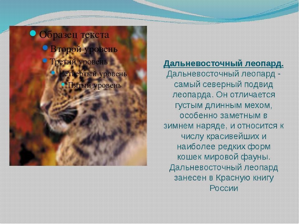 Дальневосточный леопард. Дальневосточный леопард - самый северный подвид леоп...