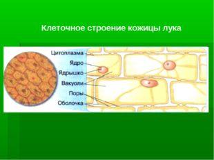 Клеточное строение кожицы лука