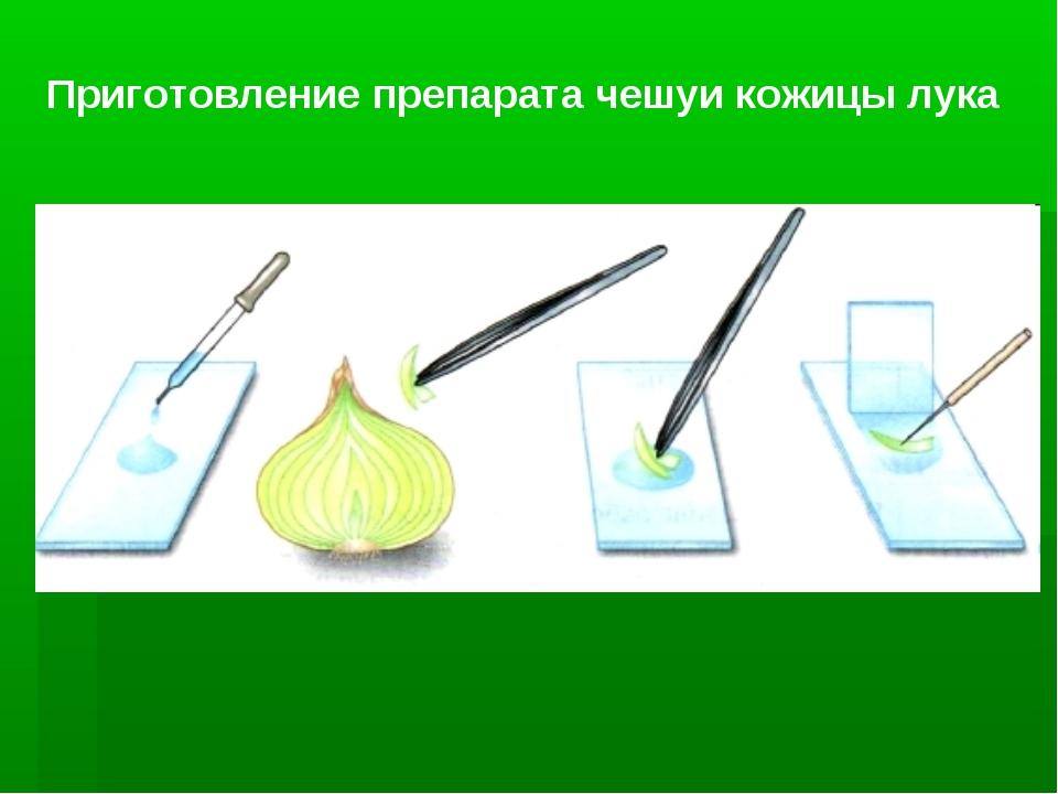 Приготовление препарата чешуи кожицы лука