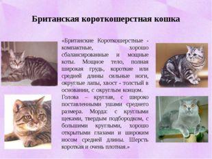 Британская короткошерстная кошка «Британские Короткошерстные - компактные, хо