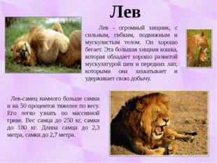 Лев Лев - огромный хищник, с сильным, гибким, подвижным и мускулистым телом.
