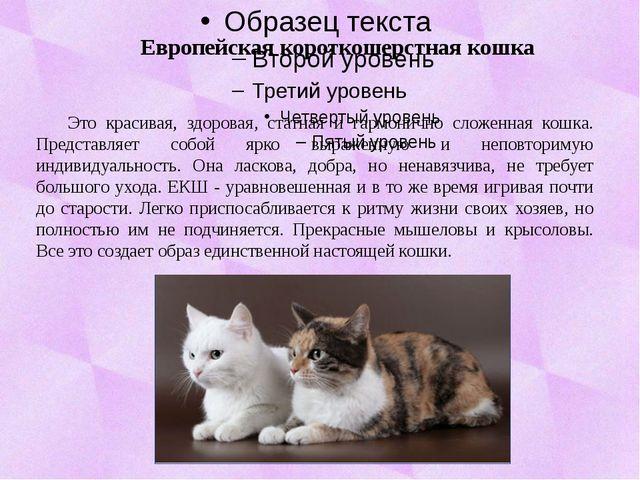 Европейская короткошерстная кошка Это красивая, здоровая, статная и гармонич...